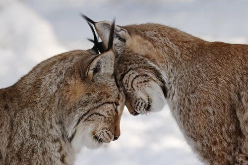 Headbutt of love