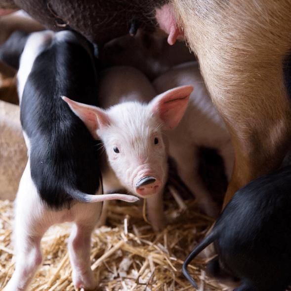 pig goats farm animals cows - 775429
