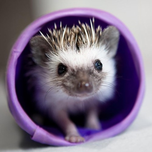 hedgehog - 7754794240