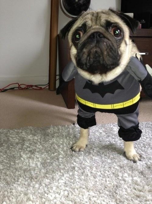 Pug dressed as batman