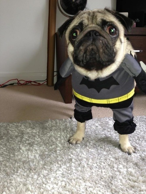 costume pug batman funny - 7755213824