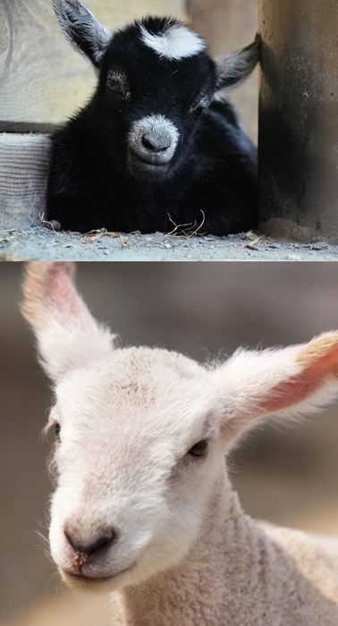 goats,lambs,squee spree