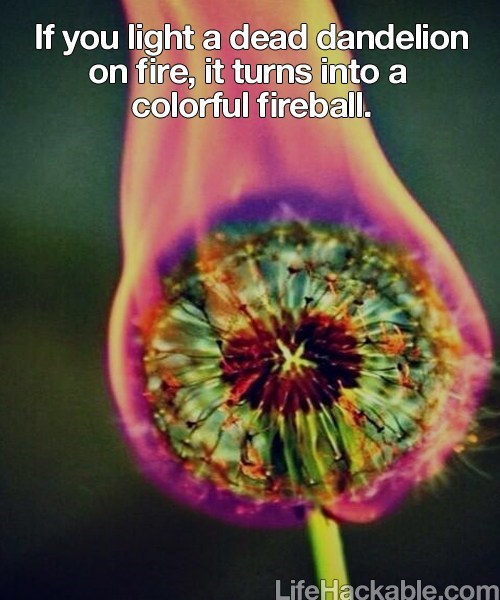 dandelion,fire,science