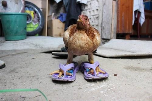 riddle flip flops chicken cross - 7756717824