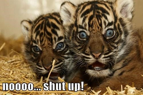 tigers cute surprise twins