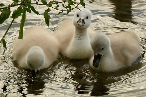 swan,baby,swim,beauty