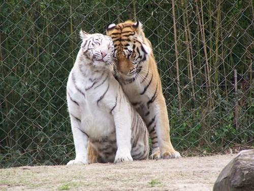 tigers zoo cuddling - 7762610432