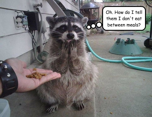 hungry,diet,shy,raccoons