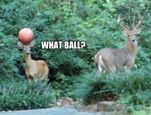 deer,basketball,pun