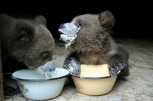 bear bear cubs - 7764062720