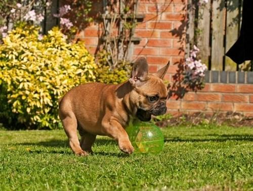 french bulldogs - 7764108032