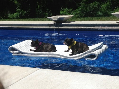 summer french bulldogs pool - 7764109824