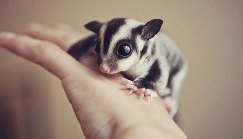 The Sweetest Little Sugar Glider