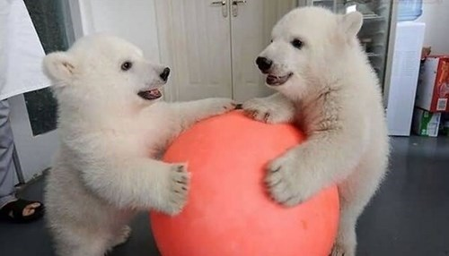 polar bears,play time