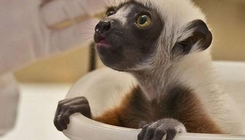 lemur - 7765224704