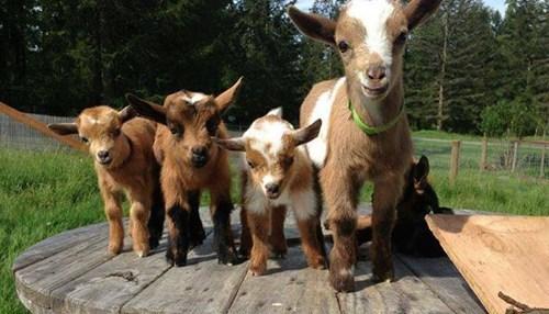 kids,goats