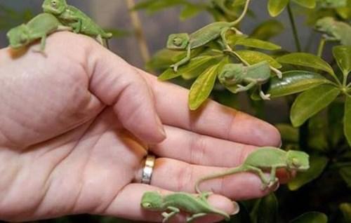 chameleons - 7765393920