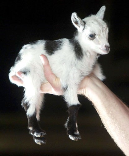 baby,goat,handful,cute