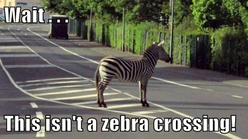 confusing,stripes,crosswalk,zebras