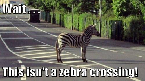 confusing stripes crosswalk zebras - 7768059392