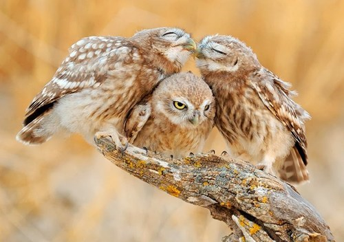 baby,cute,owls,kissing