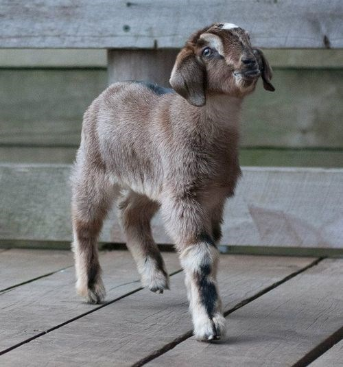 baby goat - 7776049920