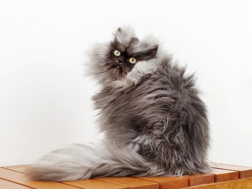 record,colonel meow,fluffiest cat record