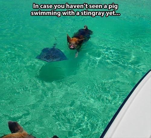 pig swimming pool sting ray