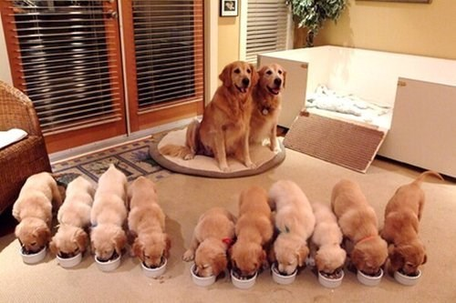 puppies,family