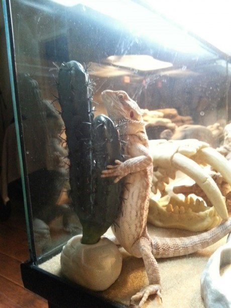 cactus,lizard