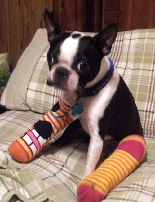 fashion,socks,boston terrier