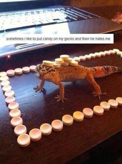 candy lizard gecko - 7778964736