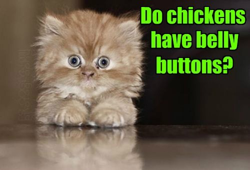 Do chickens have belly buttons?