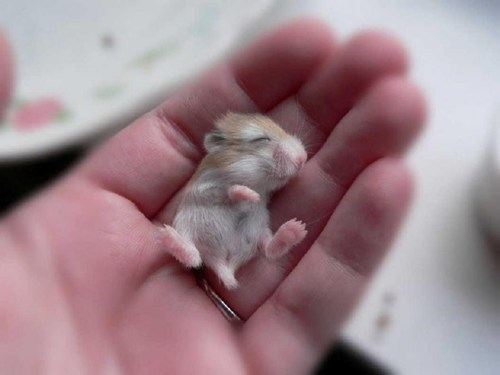 baby hold cute hamster hand - 7780725760