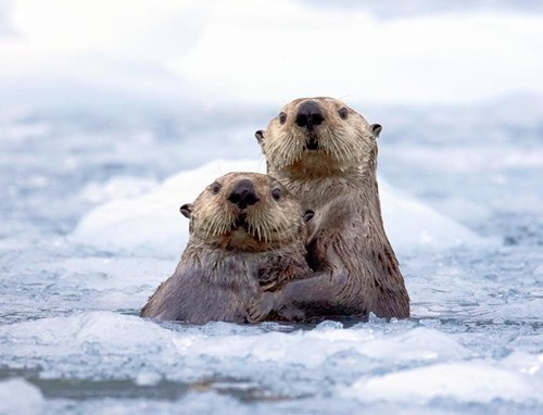 cold,cute,ices,otter,love,couple