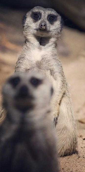 photobomb meerkat funny - 7782245888