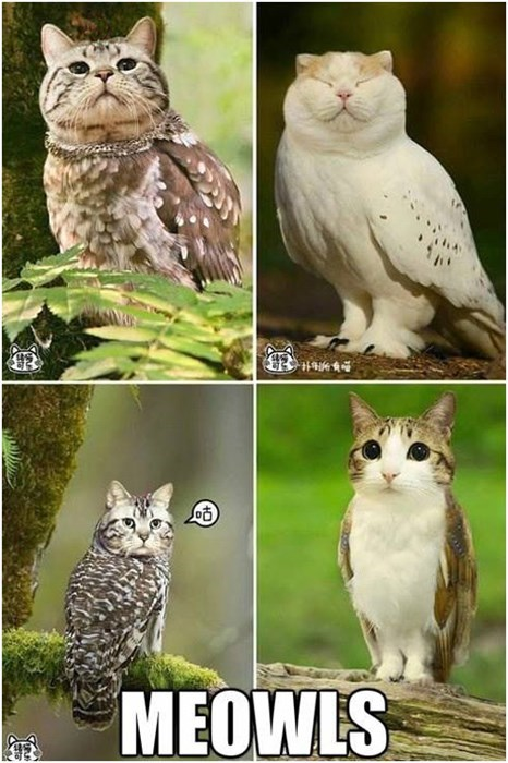 cat Owl meowl - 7782677248