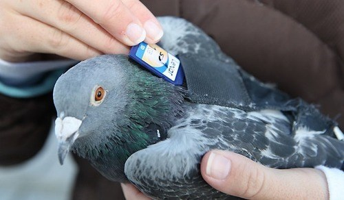 sd card,pigeon,carrier