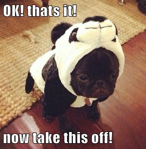 costume,panda,pug,cute