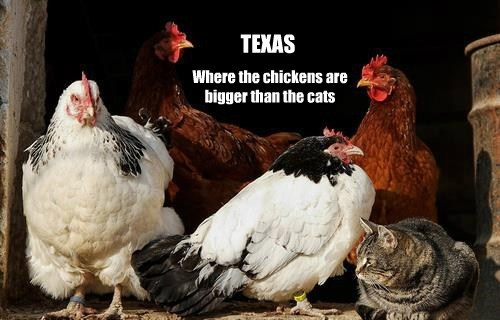 Where the chickens are bigger than the cats TEXAS