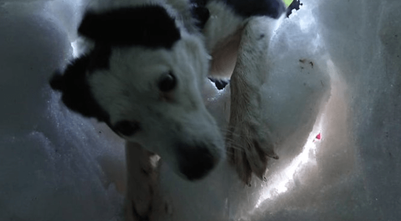 dogs snow Video rescue - 7788805