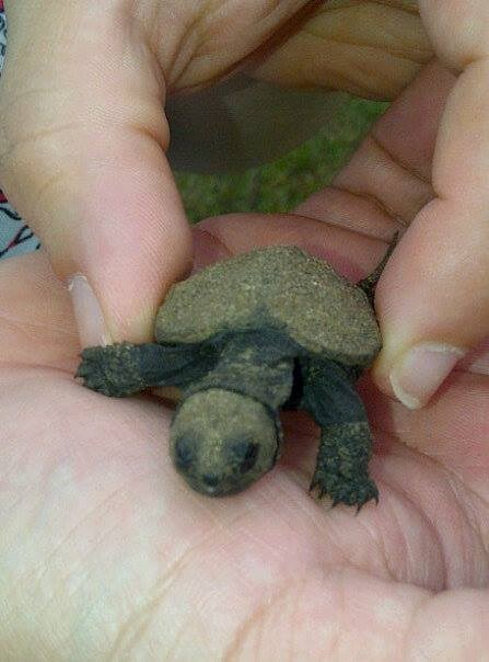baby mini cute snapping turtle - 7796564480