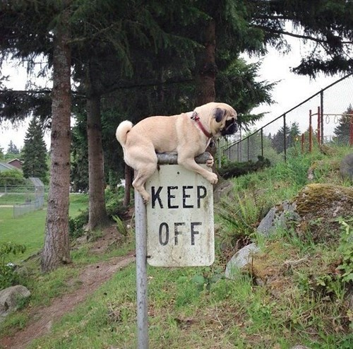pug rebel keep off dogs funny - 7797230080