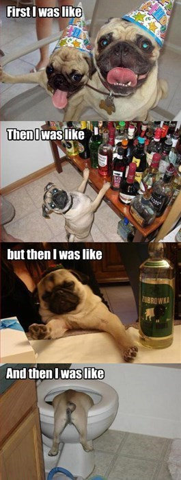 drinking pug Party dogs funny - 7797233920