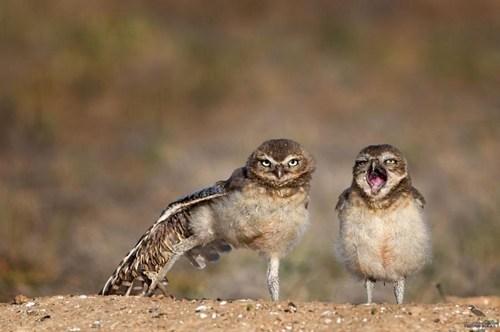birds pair owls funny - 7797737216