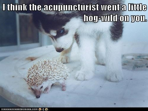 puppy acupuncture hedge hog point - 7801327360