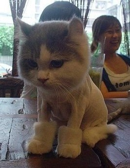 cat,kitten,funny boots,uggs,shaved