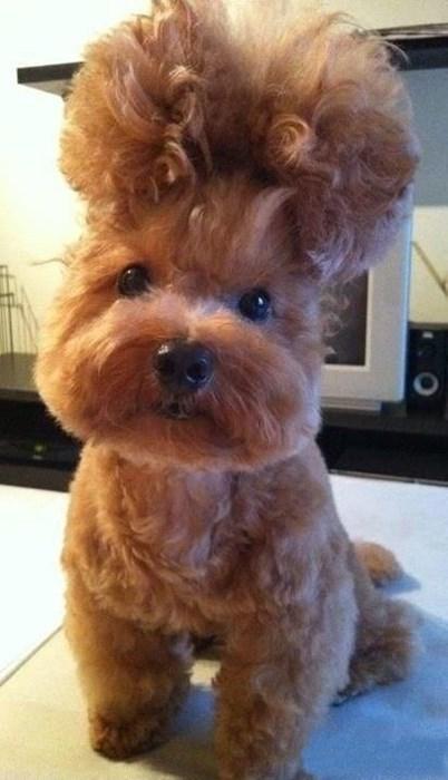 hair cruel dogs liberace funny - 7802301696