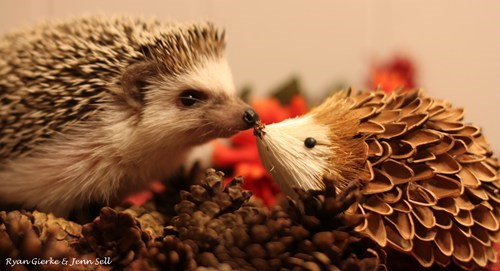 cute critter hedgehog squee - 7803646208