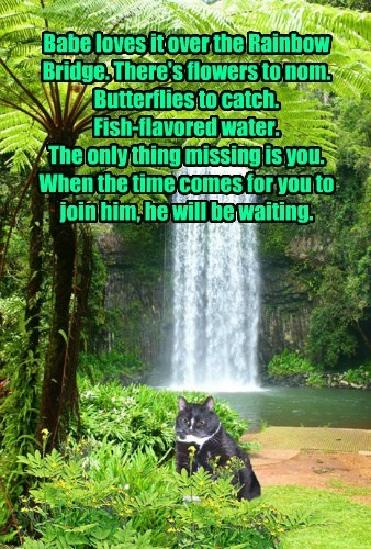 Babe loves it over the Rainbow Bridge. There's flowers to nom. Butterflies to catch. Fish-flavored water. The only thing missing is you. When the time comes for you to join him, he will be waiting.